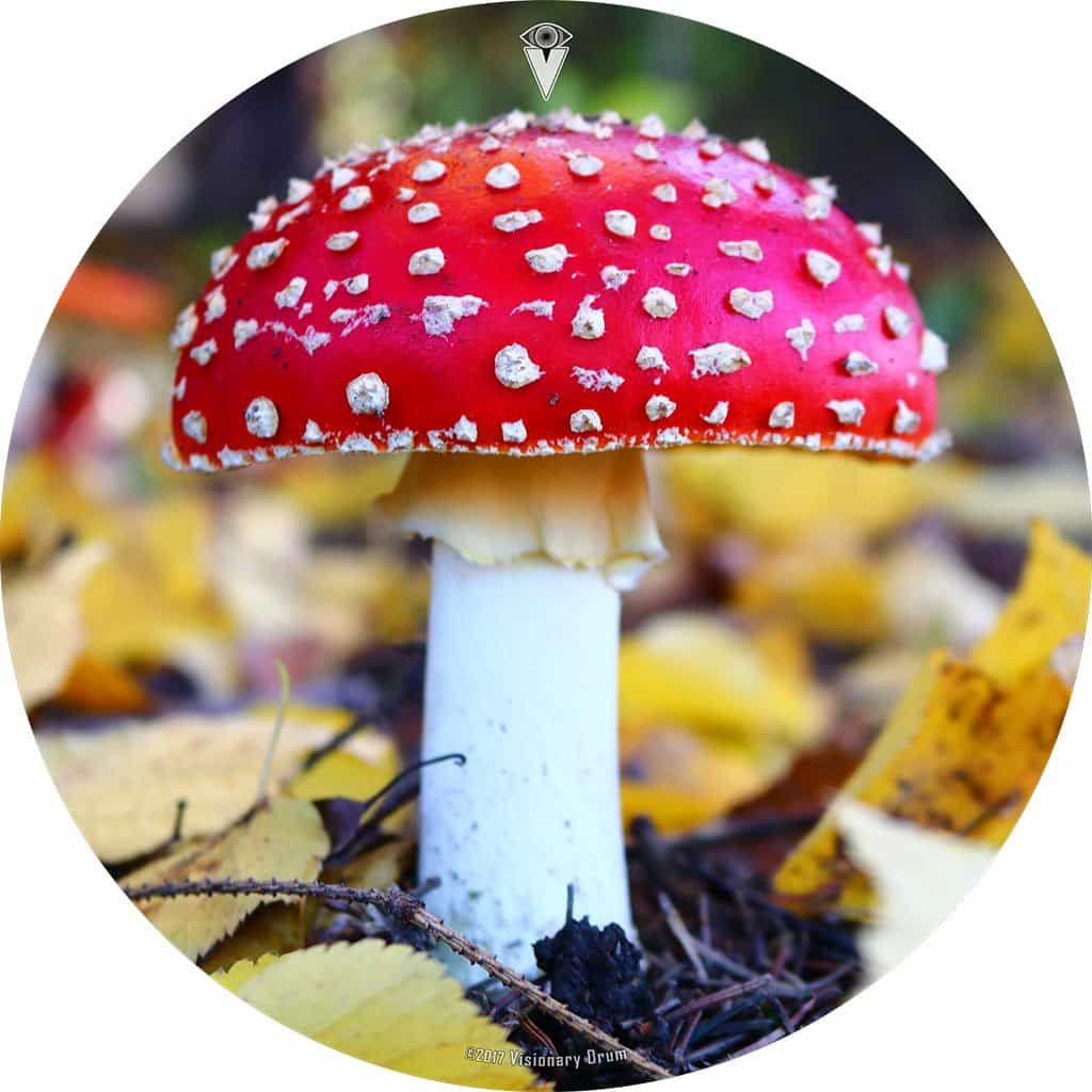 Red Amanita Mushroom with white spots graphic drum skin by Visionary Drum