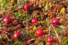 Arctic Cranberry Seed Oil