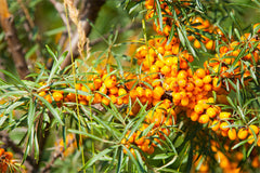 Sea Buckthorn Pulp Extract
