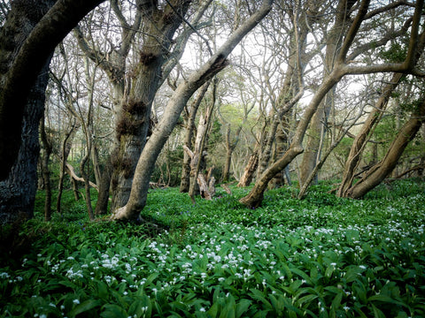 Wild Garlic at Tyneham