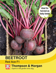 Beetroot Red Ace F1 Hybrid