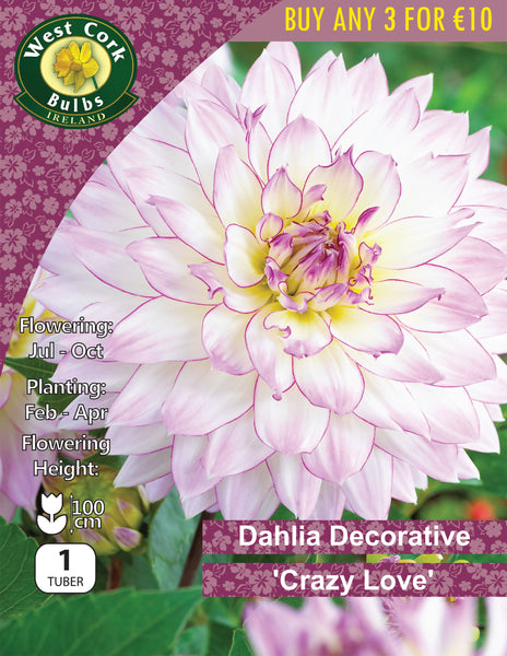 Dahlia Decorative 'Crazy Love'