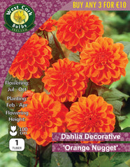 Dahlia Decorative 'Orange Nugget'