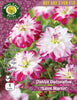 Dahlia Decorative 'Saint Martin'