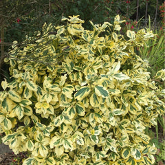 Euonymus fortunei 'Emerald 'n' Gold 1l