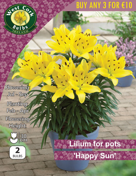 Lilium for Pots 'Happy Sun'