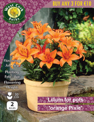 Lilium for Pots 'Orange Pixie'