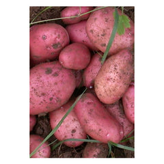 Potatoes - Sarpo Mira Maincrop -  2Kg Nets