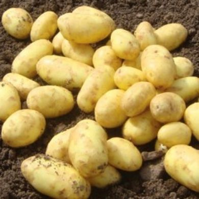 Golden Wonder Seed Potatoes 2kg