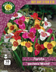 Tigridia Pavonia Mixed