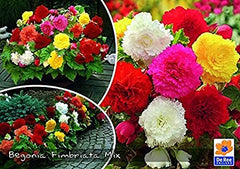 Begonia Fimbriata mix