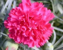 Dianthus Frilly 1litre