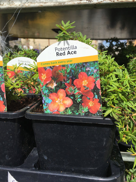 Potentilla fructicosa red ace 1l