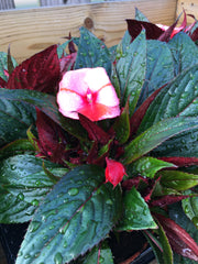 New guinea impatiens mix 1l