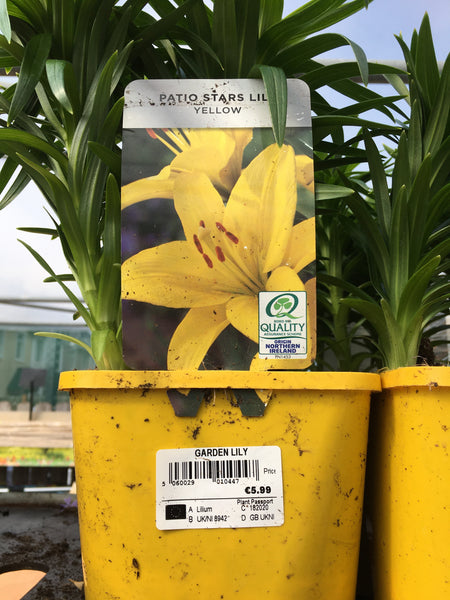 Garden Lilly yellow 2l