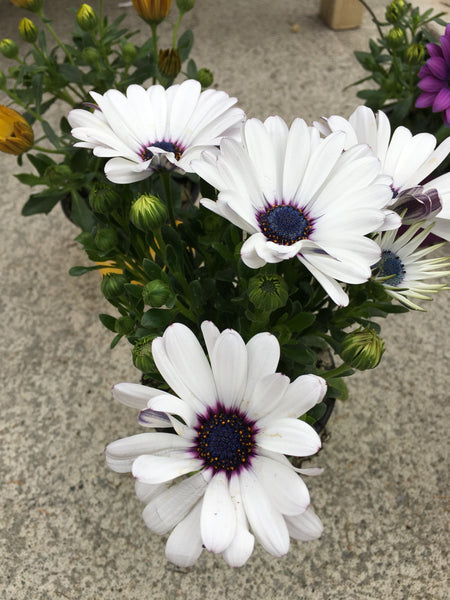 Osteospermums white
