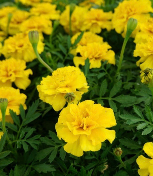 Marigold yellow 6pk