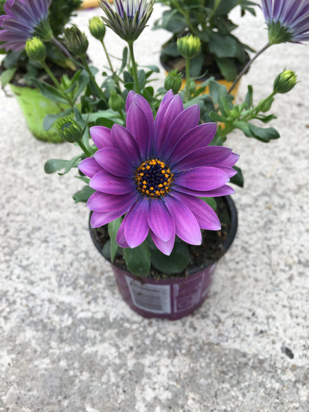 Osteospermums purple