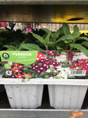 Verbena mixed 6pk