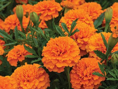 Marigold Orange 6pk