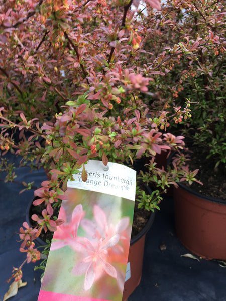 Berberis orange dream