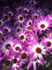 Senetti pink bi colour 2l