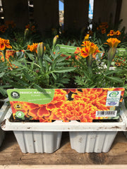 French flame marigold 6pk
