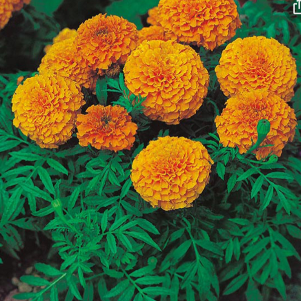Marigold African orange 6pk