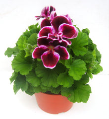 regal pelargonium 14cm