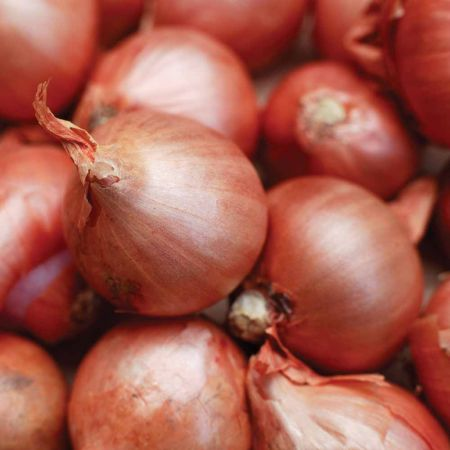 Shallots - Red Sun 50pce