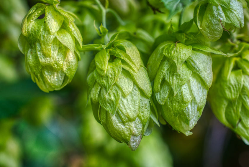 Hops, Hops, and More Hops