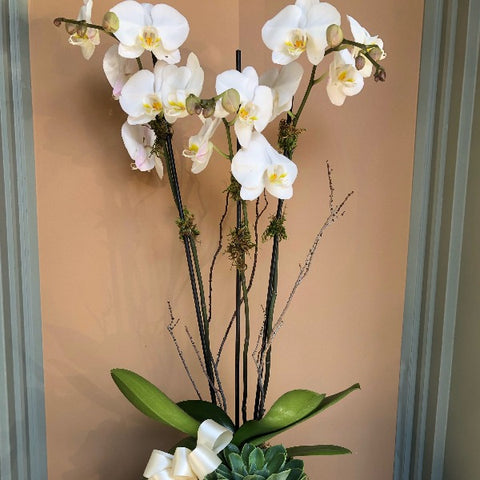 MV17 - Double White Phalaenopsis