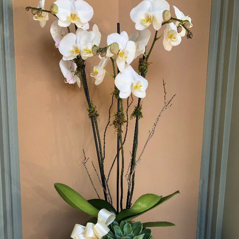 MV116 - White Four Stem Phalaenopsis