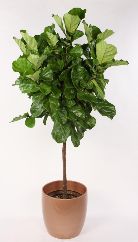 the popular elusive fiddle leaf fig tree astral riles. Black Bedroom Furniture Sets. Home Design Ideas