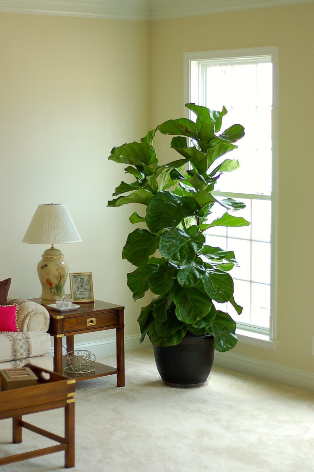 fiddle leaf fig tree 2 - Fiddle Leaf Fig Tree
