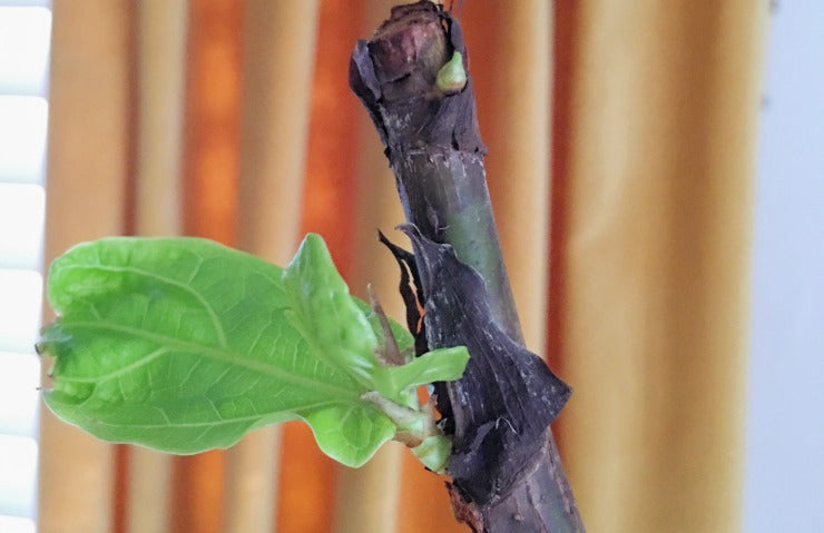 feature - new growth on fiddle leaf fig tree - astral riles blog