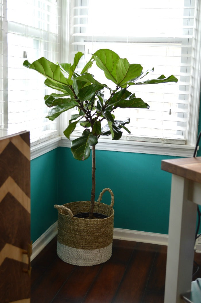 fiddle leaf fig plant on astral riles
