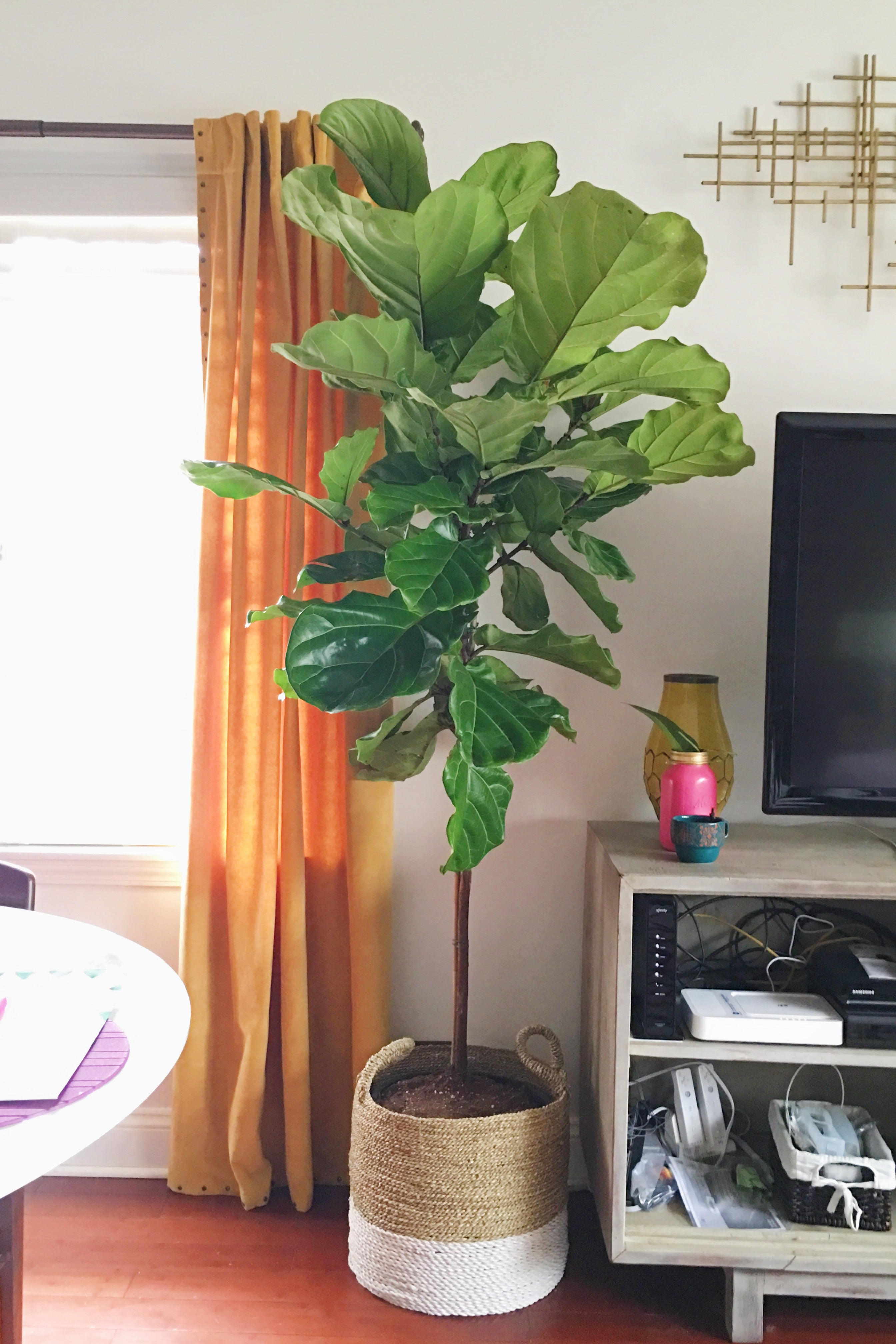 full 7ft tall fiddle leaf fig tree - astral riles blog