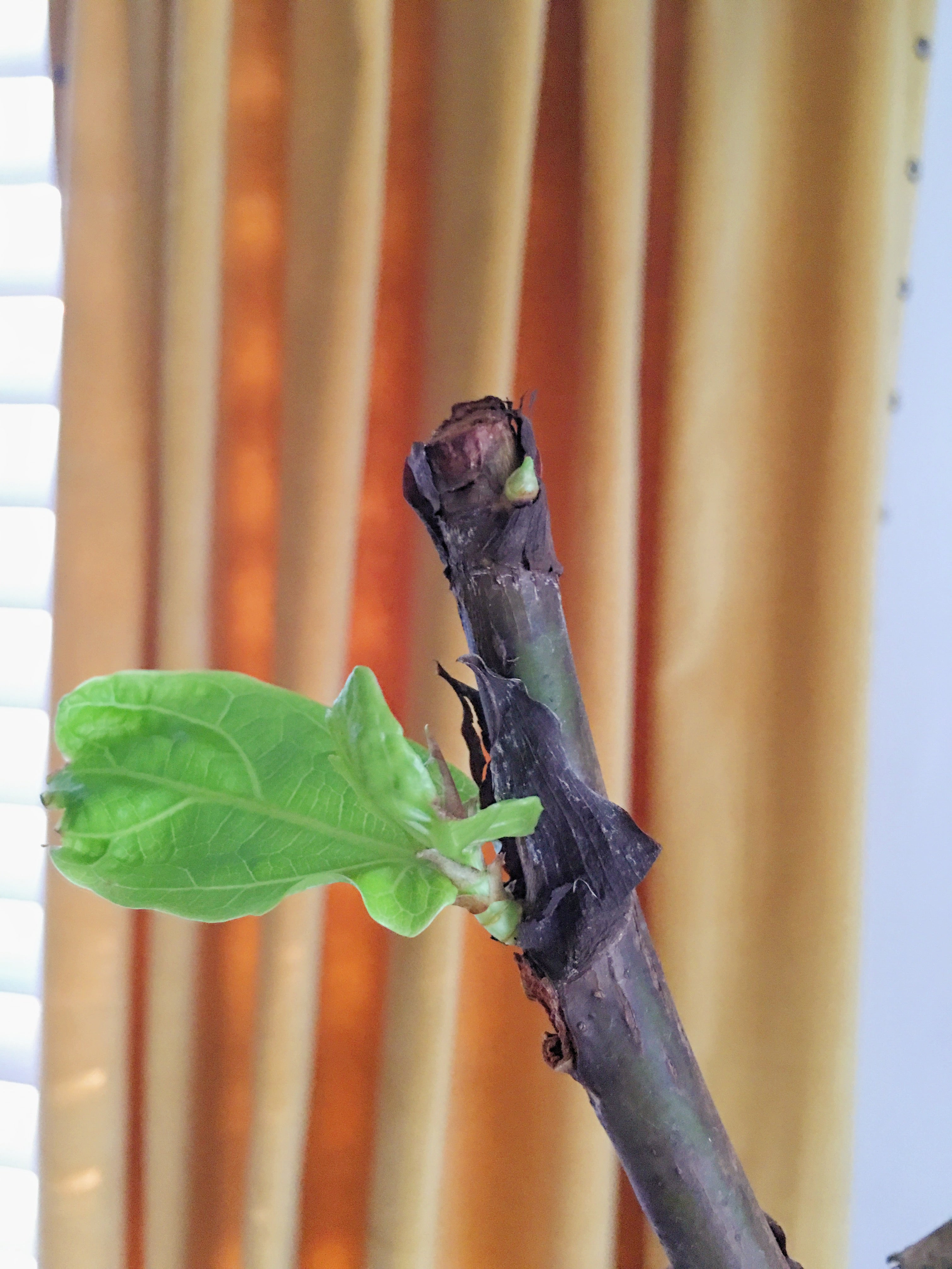 new growth on fiddle leaf fig tree - astral riles blog