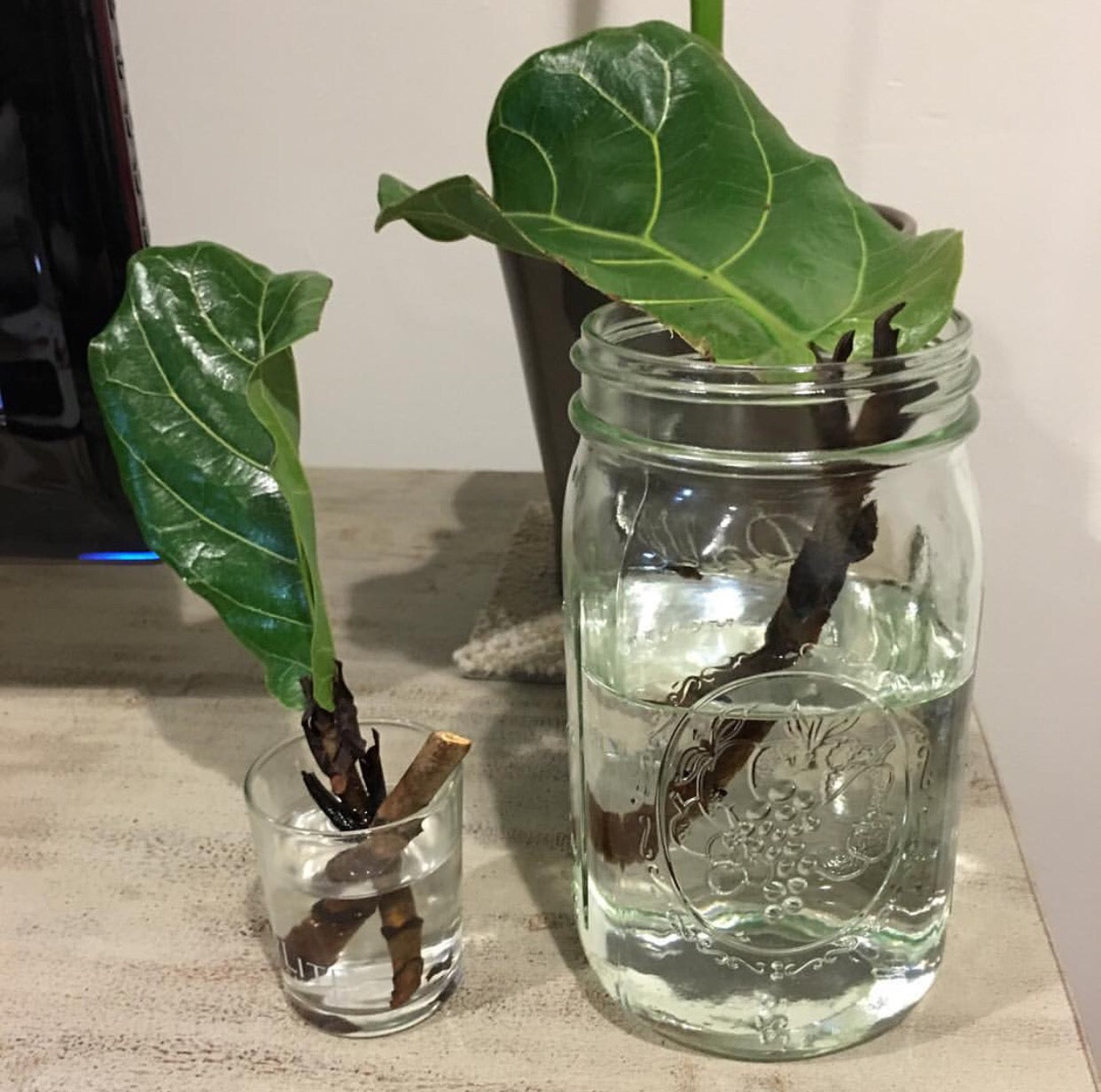 propagating - rooting fiddle leaf fig tree in water - astral riles blog