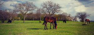 horses grazing in green pastures