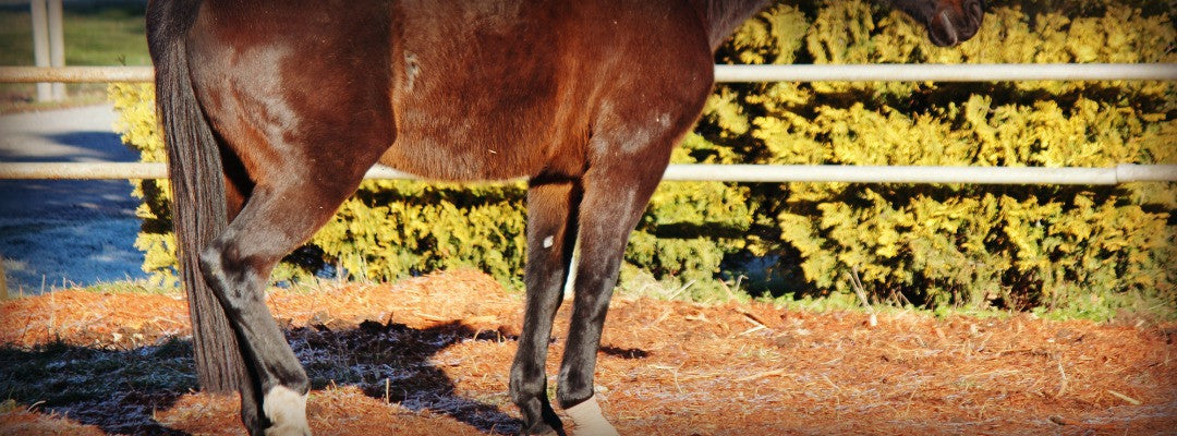 horse with muscle disorder