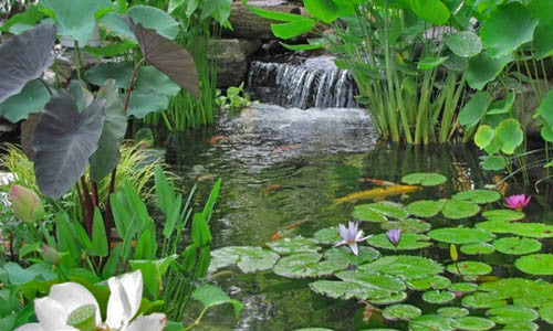 Renowned pond plants for floating garden water lilies for Garden pool ecosystem
