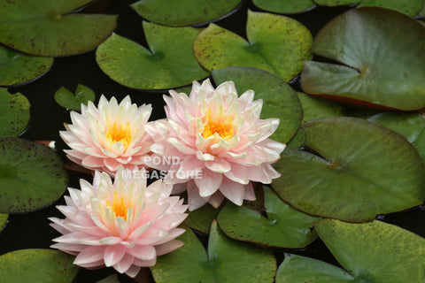 Medium & Large Winter Hardy Water Lilies