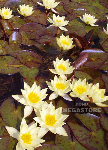 Heavy Blooming winter hardy water lilies