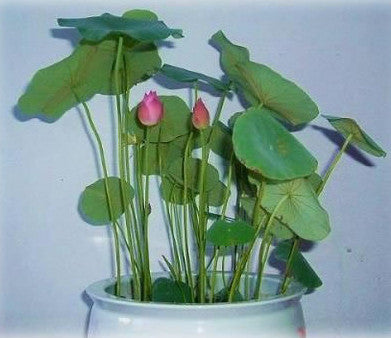 Exquisite of Bowl Lotus & Dwarf Lotus