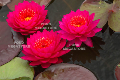 Water Lilies for Natural & Earth Bottom Ponds