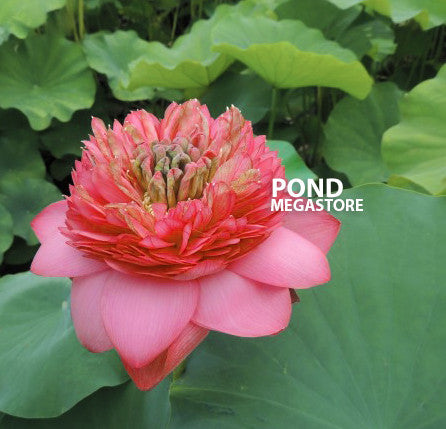 Medium & Large Lotus Varieties