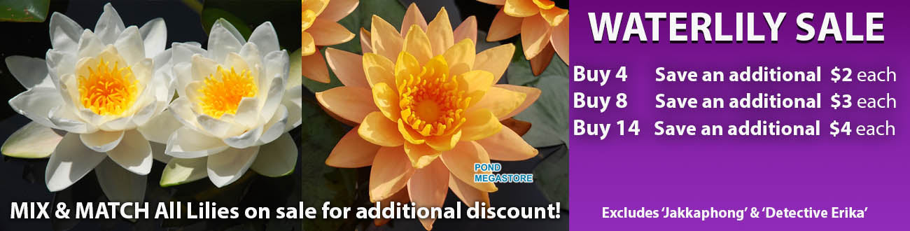 Water Lilies on Sale Today
