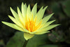 St. Louis Gold Waterlily <br> Medium, Day Bloomer